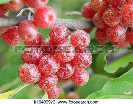 Stock Photo of Elaeagnaceae berries k16409973.