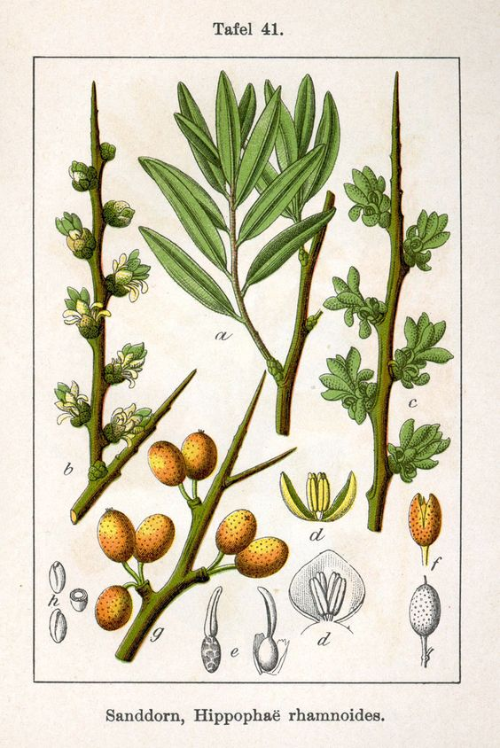 АЗОТОФИКСАТОР Облепи́ха (лат. Hippóphaë) — род растений семейства.