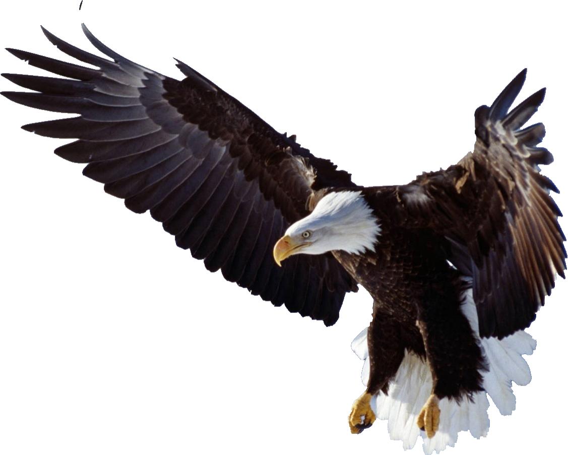 Burung elang png 7 » PNG Image.