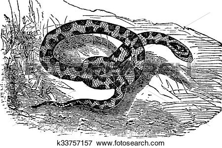 Clip Art of Chicken Snake or Rat Snake or Elaphe sp. or Pituophis.