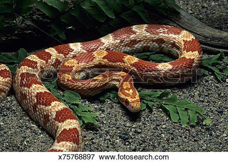 Picture of Amelanistic Corn Snake, Elaphe g. guttata, swallowing.