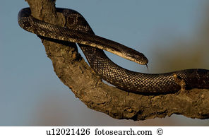 Rat snake Images and Stock Photos. 1,314 rat snake photography and.