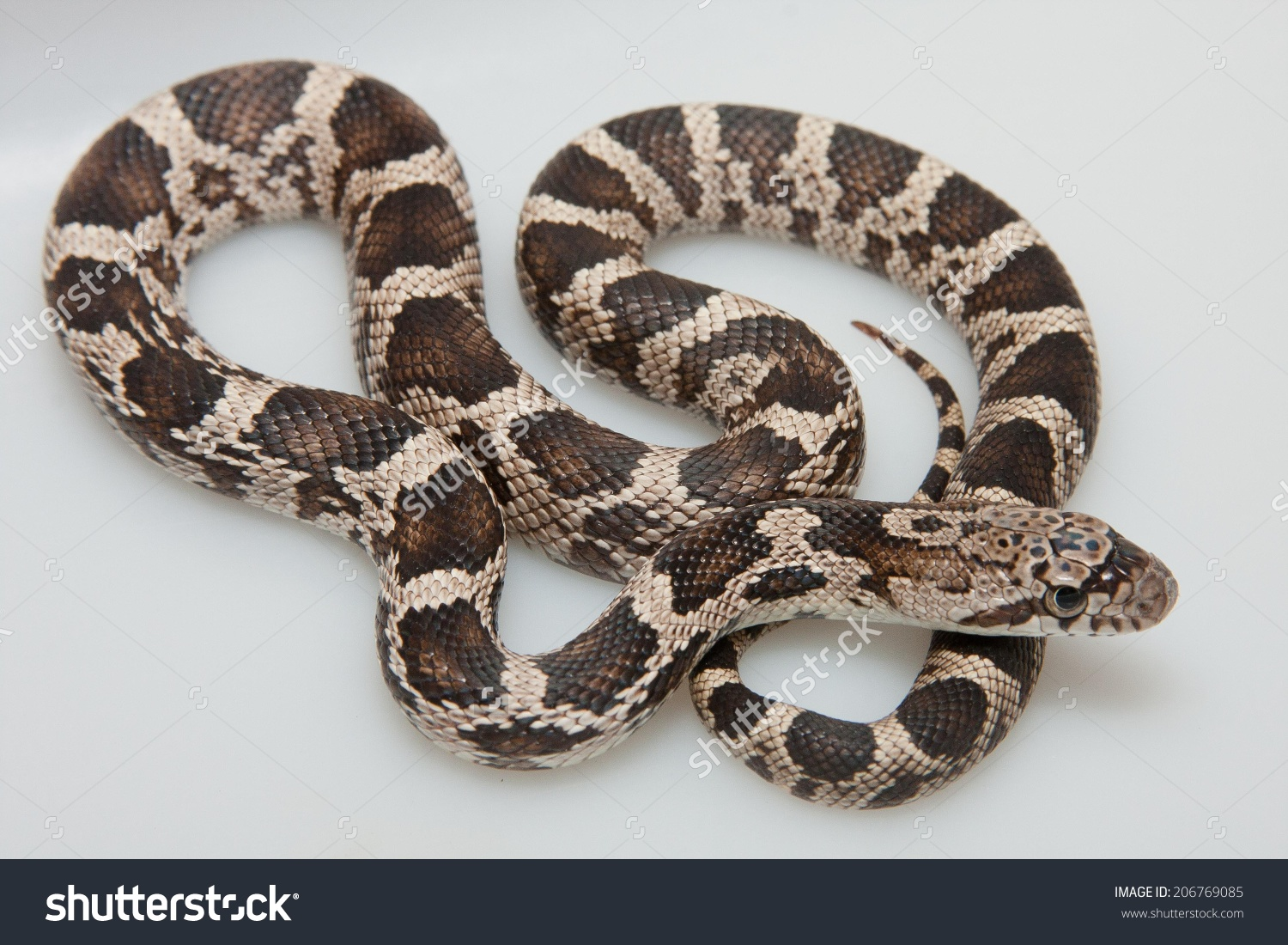 Captive Bred Hybrid Black Ratsnake Elaphe Stock Photo 206769085.