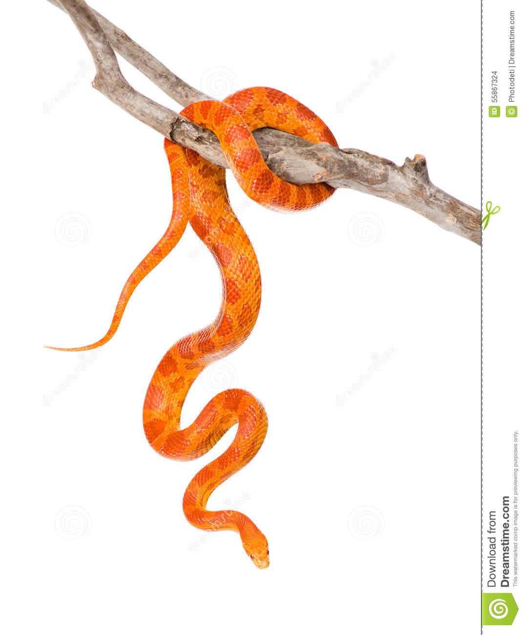 Creamsicle Corn Snake (Elaphe Guttata Guttata) On A Dry Branch.