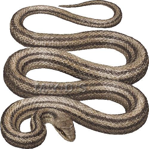 Snake) Japanese Four.