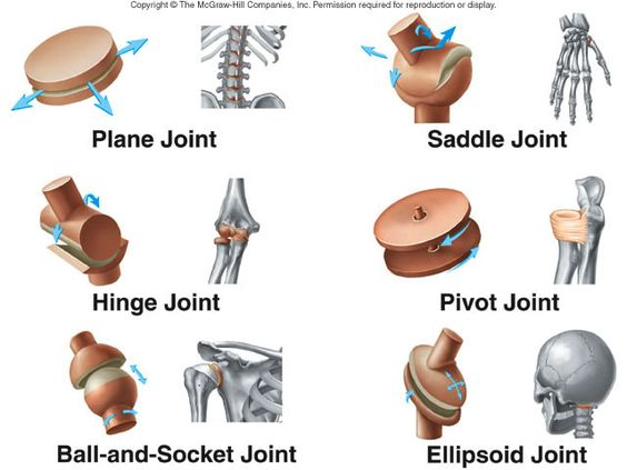 Examples Of Synovial Joints.
