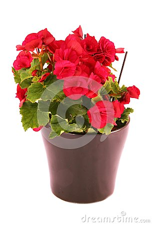 Begonia Elatior Stock Photo.