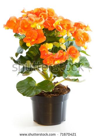 Begonia Decorative Pot Stock Photos, Royalty.