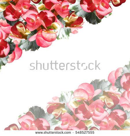 Pink Begonia Stock Photos, Royalty.