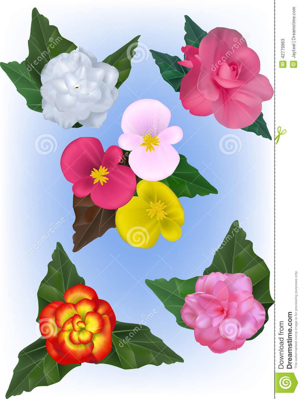 A Collection Of Begonia Flower Vector Illustrations Stock Vector.