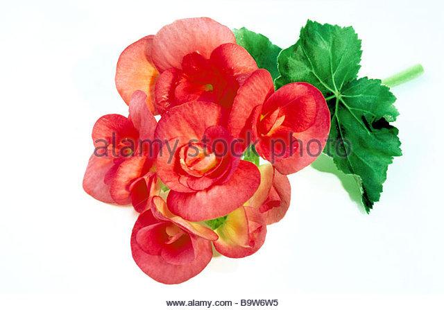 Elatior begonia clipart #13