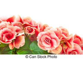 Stock Photography of Red elatior begonia.