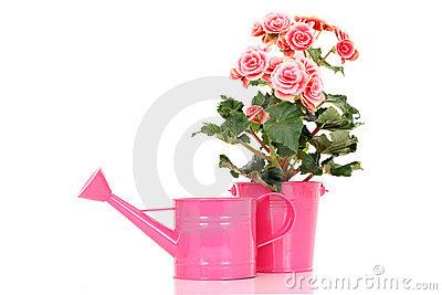 Pink Elatior Begonia Flowers Stock Photo.