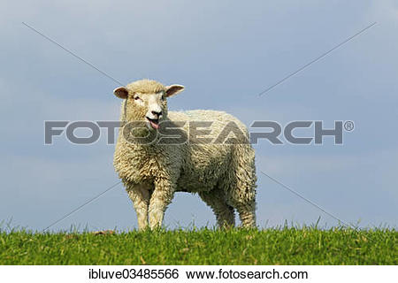"Stock Images of ""Domestic sheep (Ovis orientalis aries), bleating."