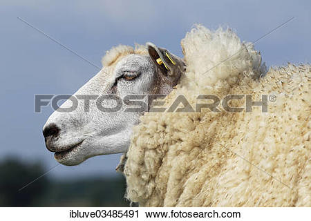 "Stock Photography of ""Domestic sheep (Ovis orientalis aries) with."