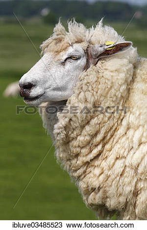 "Stock Photo of ""Domestic sheep (Ovis orientalis aries) with an ear."