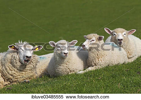 "Stock Image of ""Domestic sheep (Ovis orientalis aries), ewe with."