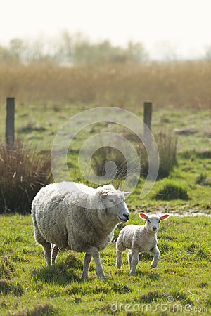 Lamb & Mother Stock Images.