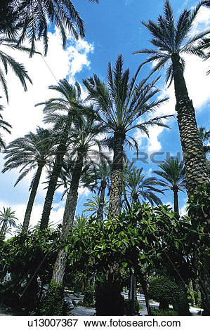 Picture of Spain, Alicante, Elche, Nature, Tree, Trees, Palm tree.