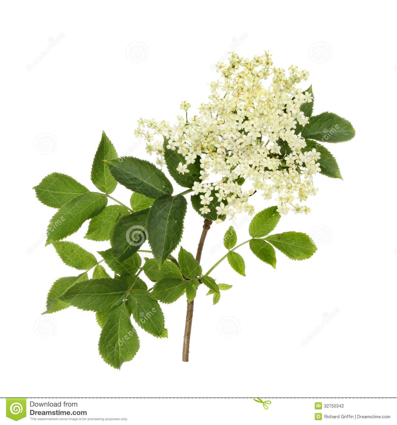 Elder Flower Stock Photography.