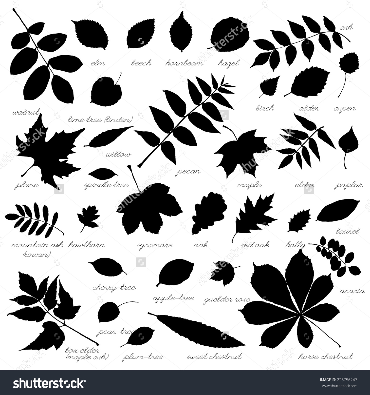 Silhouettes Tree Leaves Elm Beech Ash Stock Vector 225756247.