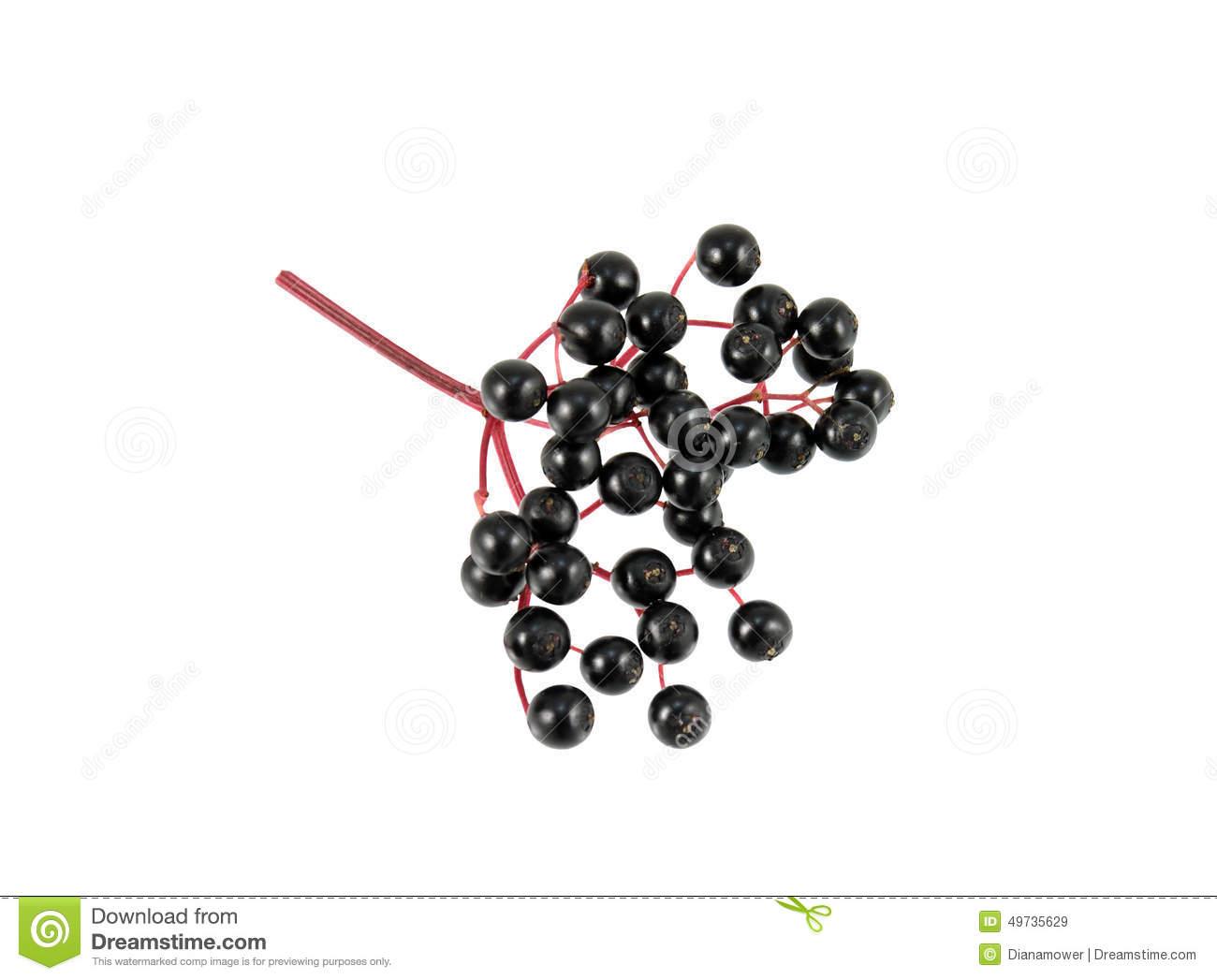 Elderberry Sprig Stock Photo.