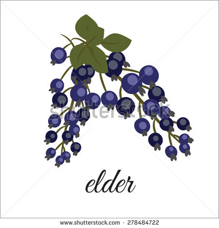 Elderberries Stock Vectors, Images & Vector Art.