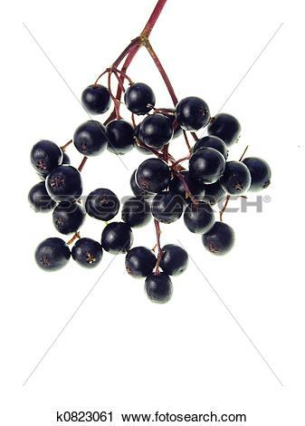 Stock Photography of elderberry k0823061.