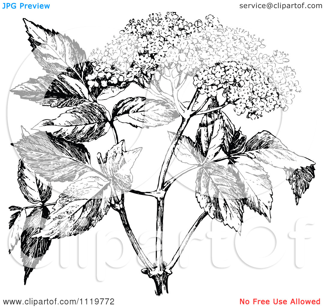 Clipart Of A Retro Vintage Black And White Elder Flower.