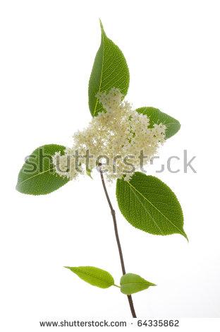 Elderberry Flower Lizenzfreie Bilder und Vektorgrafiken kaufen.