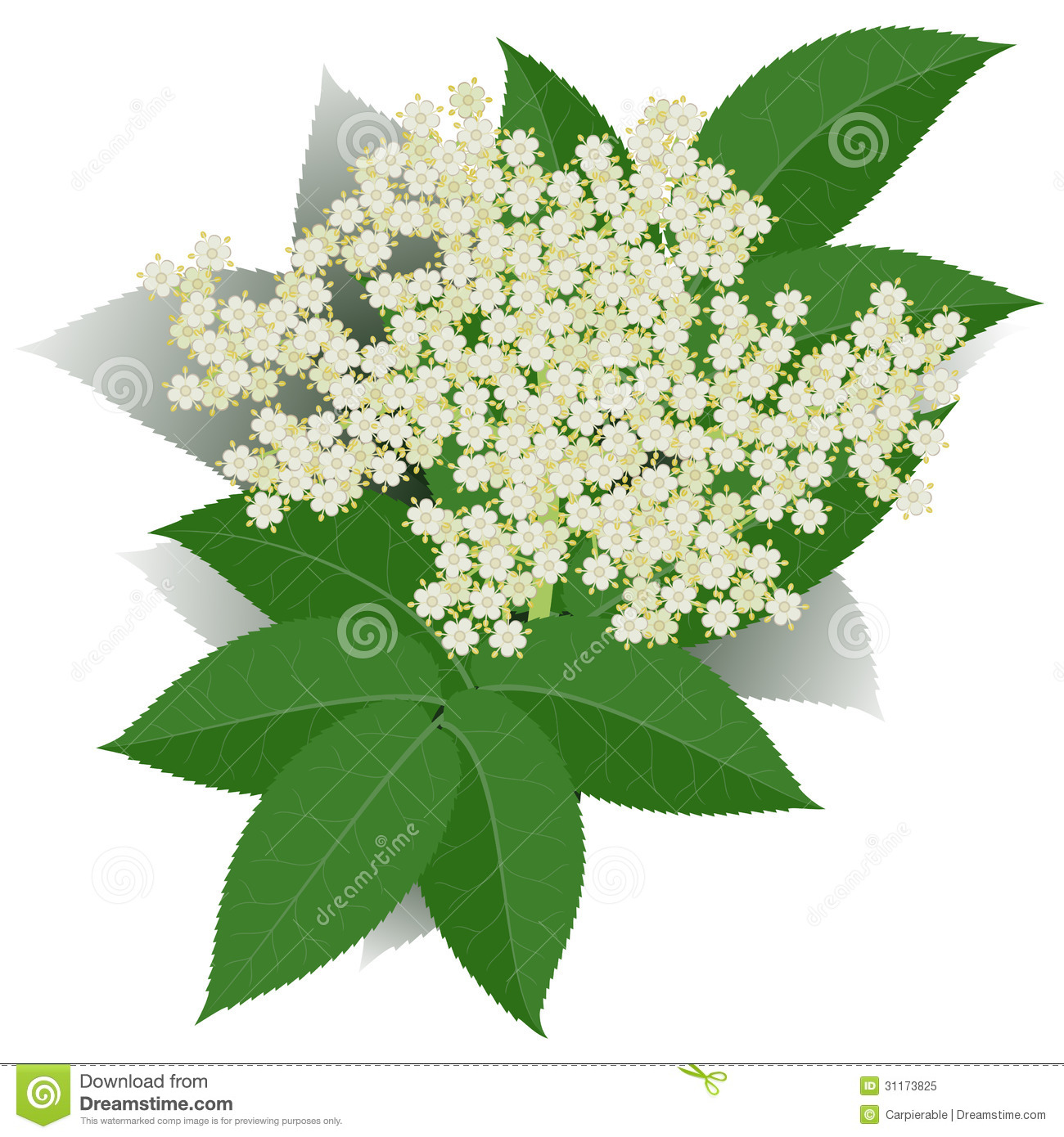 Elderflower Stock Illustrations.