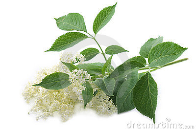 Elder Flower Royalty Free Stock Images.