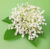 Pictures of Elderflower.