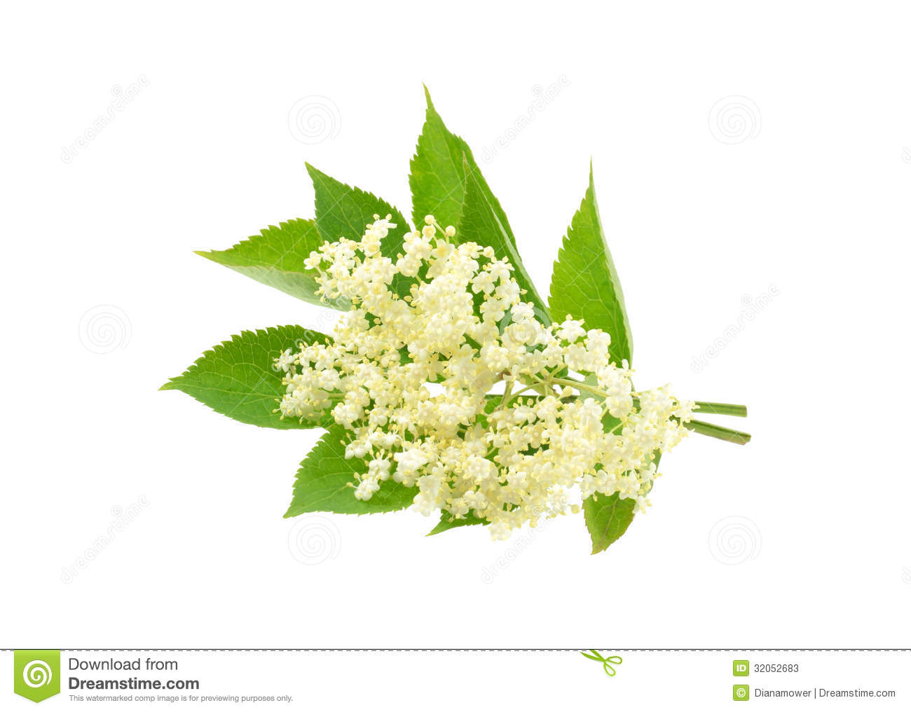 Elderflower Isolated Stock Photos.