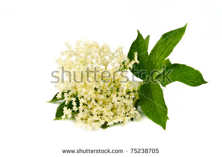 Elderflower Stock Photos, Royalty.