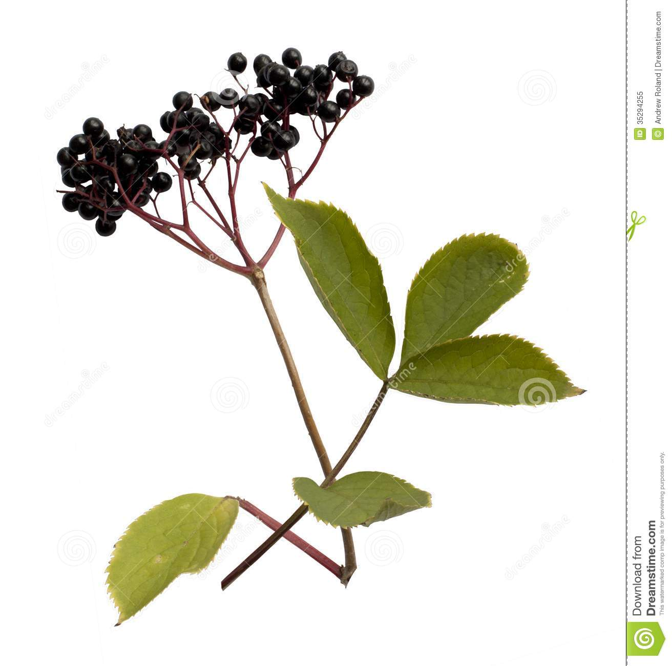 Elderberry, Sambucus Royalty Free Stock Photo.