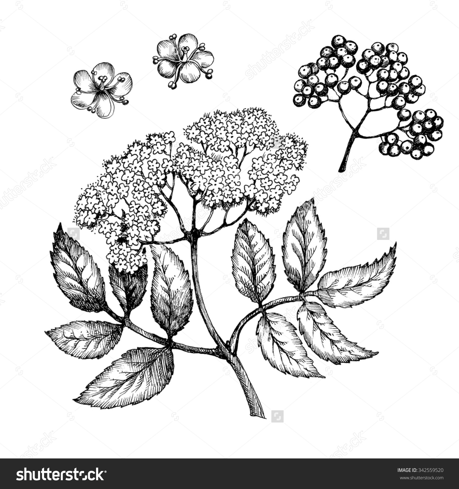 Flowers Elderberry Twig Botanical Drawing Medicinal Stock.