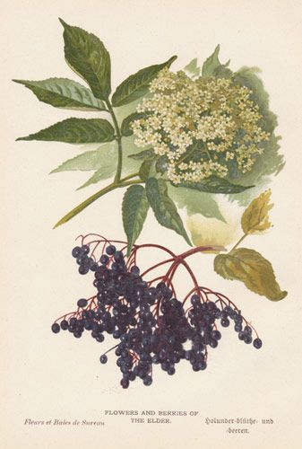 Elderflower botanical print.