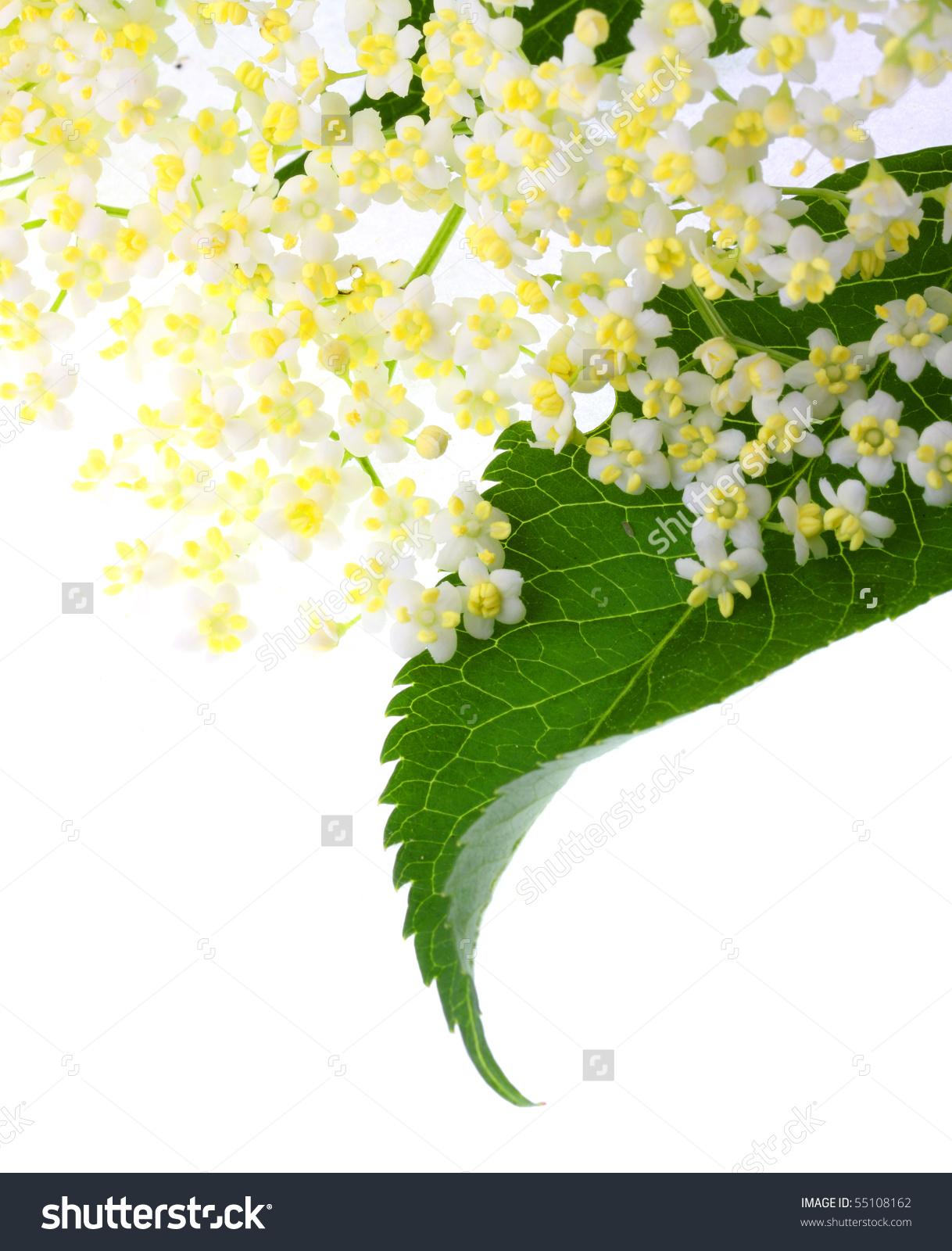 The Elder Or Elderberry (Sambucus Nigra).The Flowers And Berries.