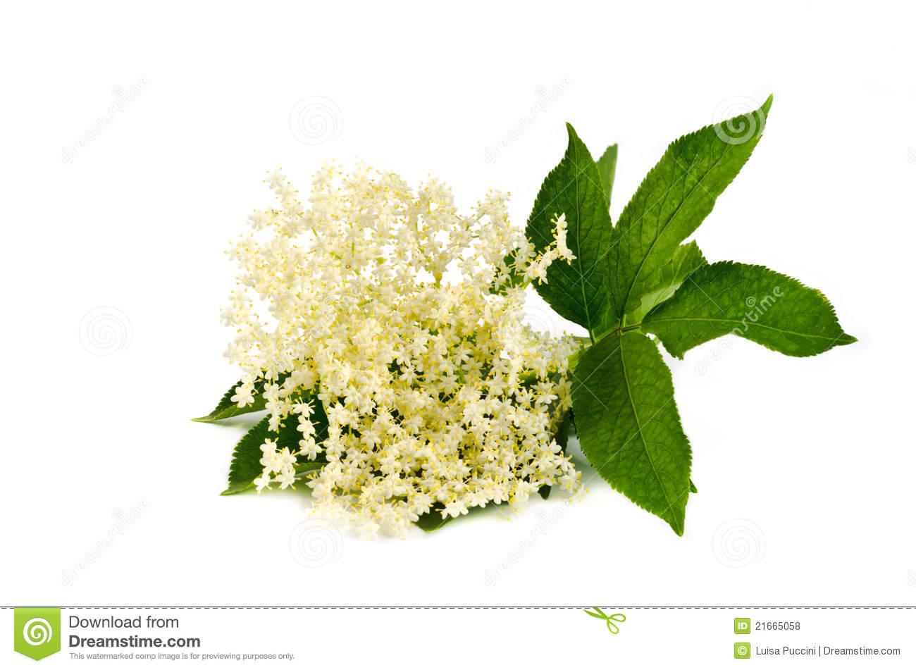 Elderberry Flower On White Royalty Free Stock Photos.