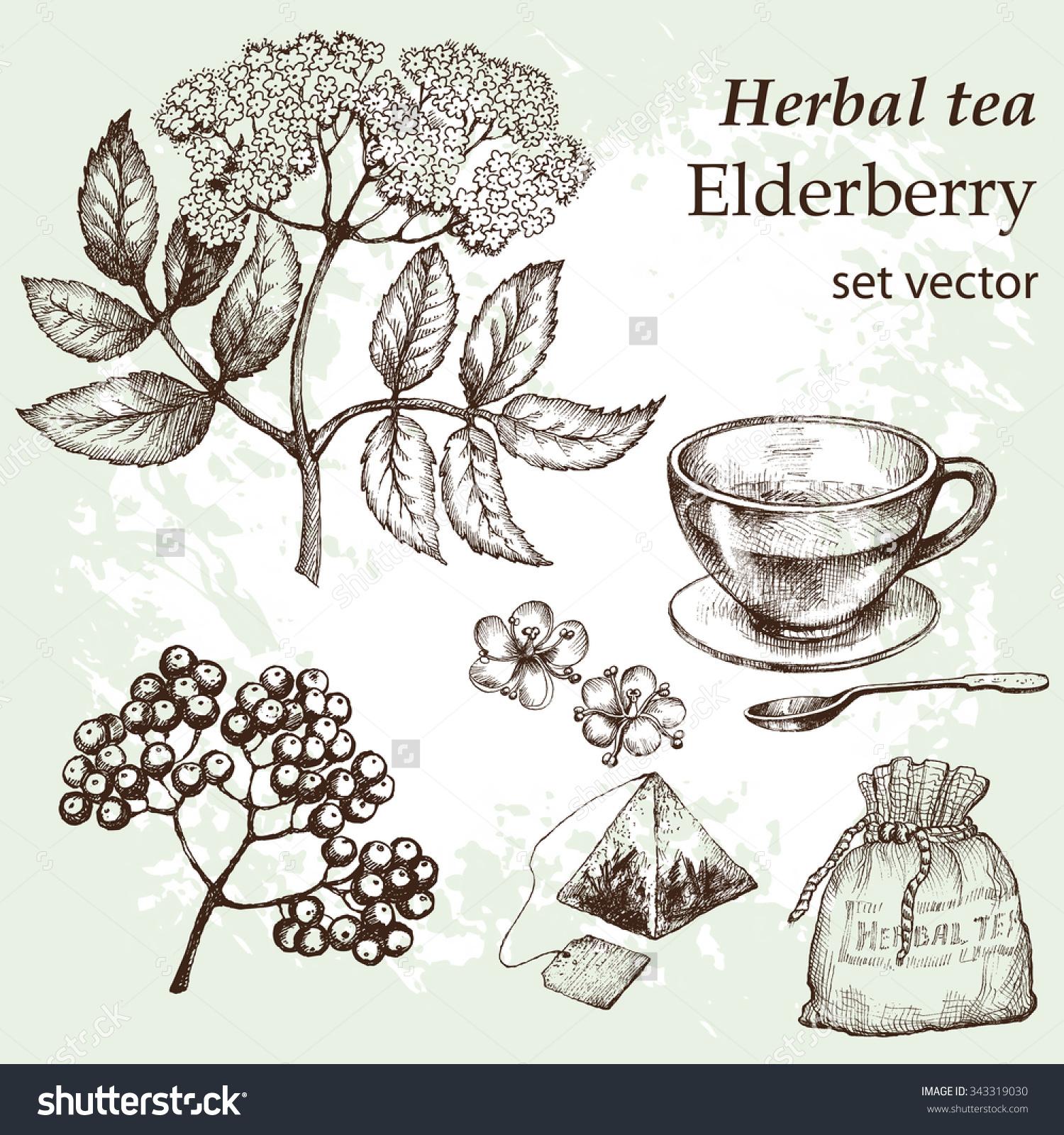 Flowers Elderberry Twig Botanical Drawing Medicinal Stock Vector.