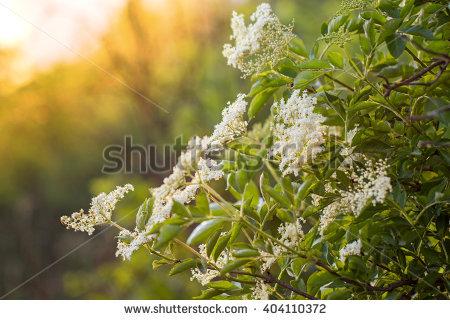 Elderberry Flower Stock Photos, Royalty.