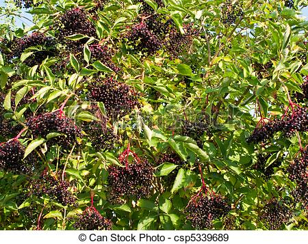 Stock Photographs of Ripe Sambucus nigra, elder, elderberry on.
