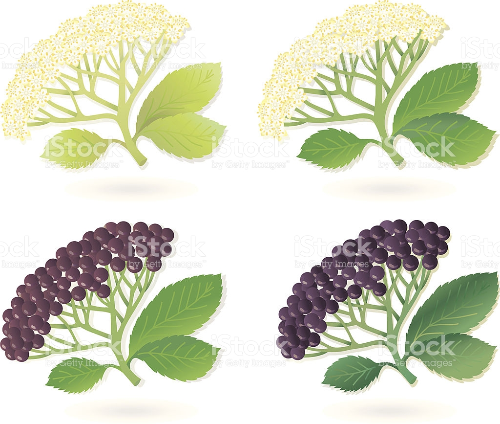Elderberry Flowers And Fruits stock vector art 163985708.