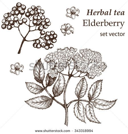 Elderberry Botanical Stock Vectors & Vector Clip Art.