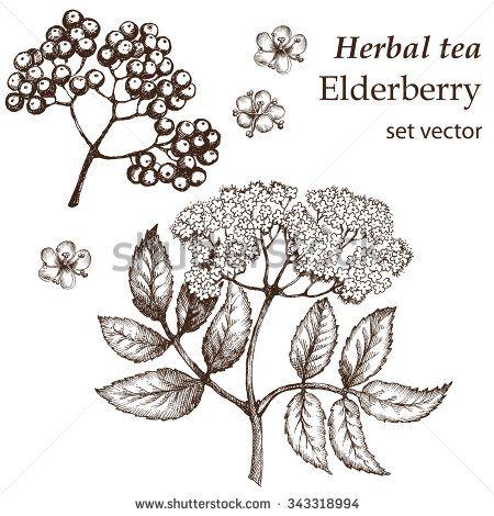 Elderberry Botanical Stock Vectors & Vector Clip Art.