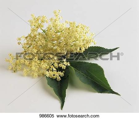 Stock Image of Elderflowers with leaf 986605.