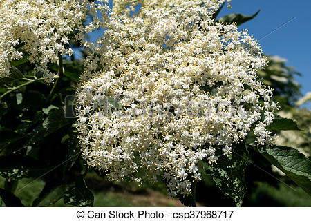 Stock Photography of blooming flowers of elderberry on a.