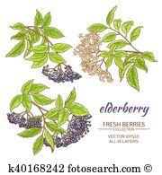 Elderflower Clipart Illustrations. 21 elderflower clip art vector.