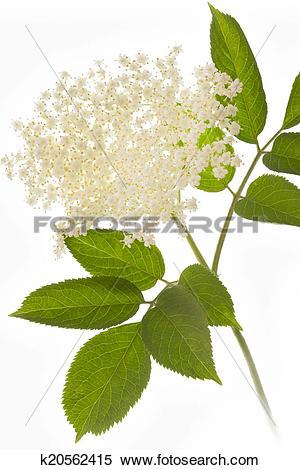 Stock Image of Elderflower on white background k20562415.